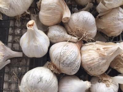 Eriophyid mites- micro-sourge of garlic