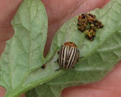 Buckwheat Strips to Attract Beneficial Insects in Potato Production