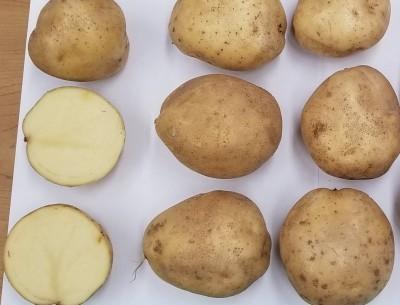 2019 Potato Variety Trial Results