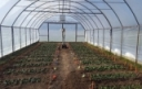 Optimizing Nitrogen Fertility for Overwintered High Tunnel Spinach