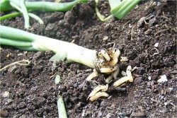 Seed Treatments for Onion Maggot Control in Onions