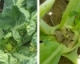New Crop Rotation Recommendations for Swede Midge