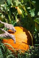 Early Pumpkin Ripening